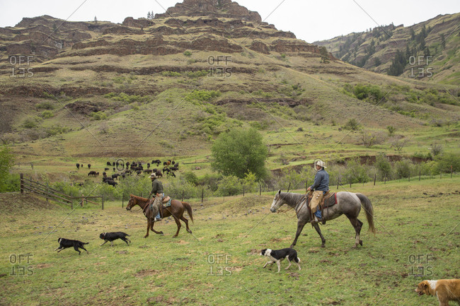 USA, Oregon, Joseph,  - May 15, 2015: Cowboy Cody Ross moves cattle from the Wild Horse Drainage down to the canyon floor by Big Sheep Creek