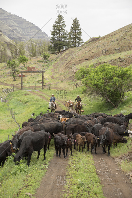 USA, Oregon, Joseph,  - May 15, 2015: Cowboys Todd Nash and Cody Ross move cattle from the Wild Horse Creek up Big Sheep Creek to Steer Creek