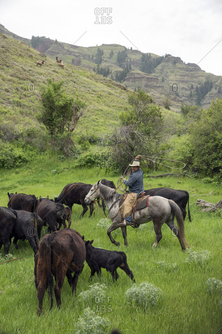 USA, Oregon, Joseph,  - May 15, 2015: Cowboy Todd Nash ropes a calf in the canyon by Big Sheep Creek in Northeast Oregon