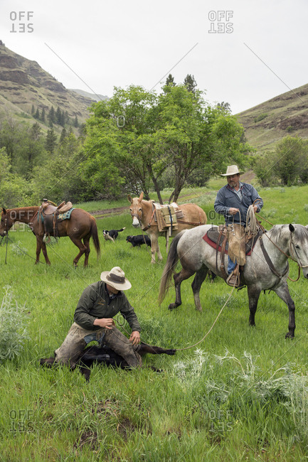 USA, Oregon, Joseph,  - May 15, 2015: Cowboys Todd Nash and Cody Ross rope and work on a calf in the canyon up Big Sheep Creek in Northeast Oregon