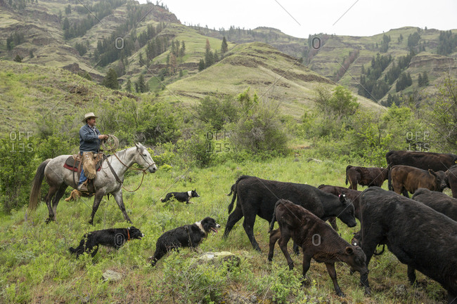 USA, Oregon, Joseph,  - May 15, 2015: Cowboy Todd Nash moves his cattle from the Wild Horse Creek up Big Sheep Creek to Steer Creek