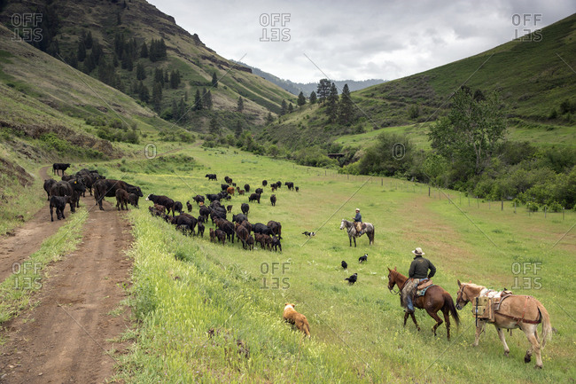 USA, Oregon, Joseph,  - May 15, 2015: Cowboys Todd Nash and Cody Ross move cattle from the Wild Horse Creek up Big Sheep Creek to Steer Creek in Northeast Oregon