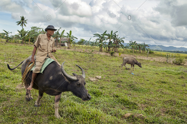 PHILIPPINES, Palawan, Barangay,  - February 9, 2011: Abongan village in the district of Barangay, an elder farmer Ingo Barreto rides his buffalo