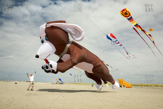 USA, Washington State, Long Beach Peninsula,  - August 21, 2014: International Kite Festival, a man gets jumped on by his huge dog kite
