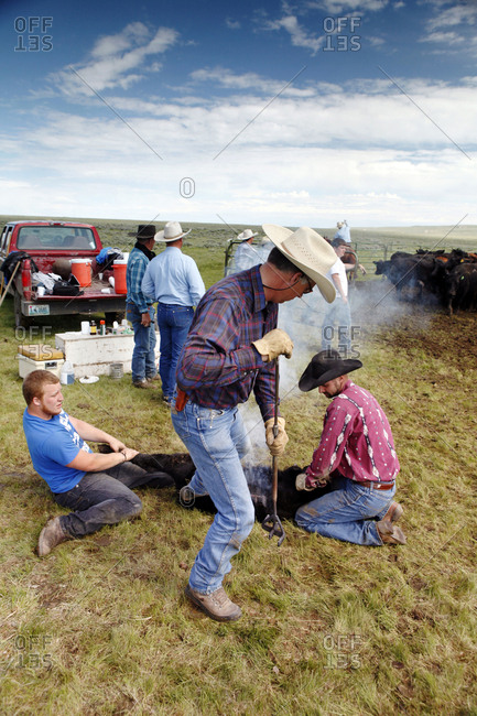 USA, Wyoming, - June 23, 2011:  Encampment, cowboys brand cattle at Big Creek Ranch