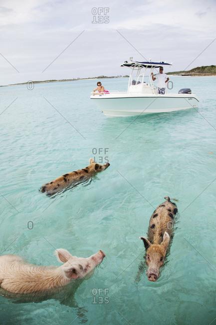 EXUMA, Bahamas. - October 26, 2011:  Swimming pigs at Big Major Cay.