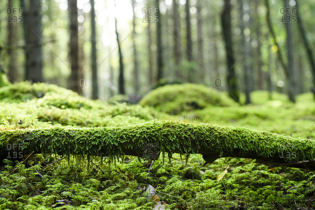 Moss on log in forest