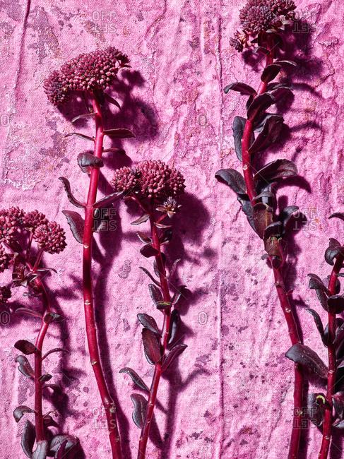 Chocolate Sedum on pink background
