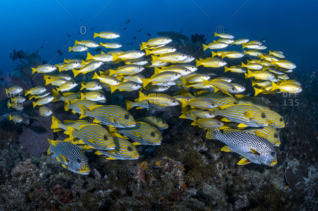 School of Striped Sweetlips on reef