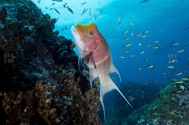 Galapagos BUMPHEAD PARROTFISH