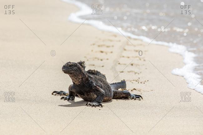 Marine iguana in the ocean