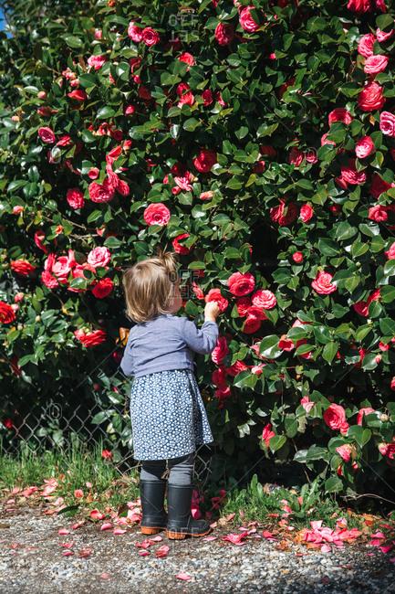 Toddler in rain boots examining a camellia bush