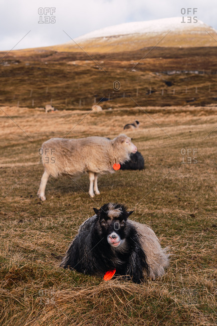 Herd of woolly Faroe sheep grazing on pasture with dry grass on cloudy day in countryside