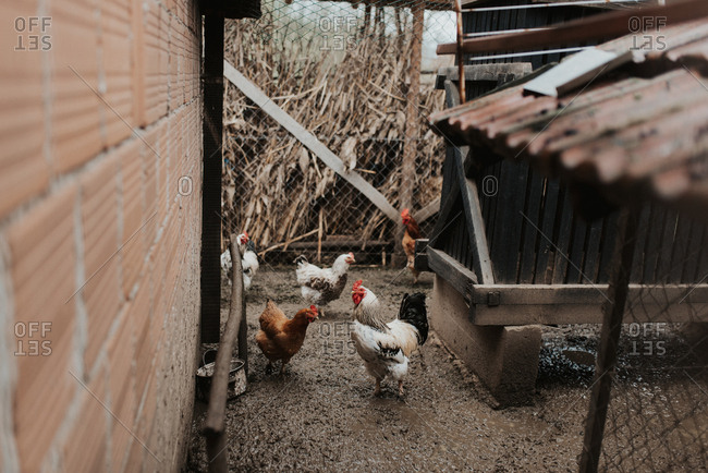 Chickens on a farm in Bosnia