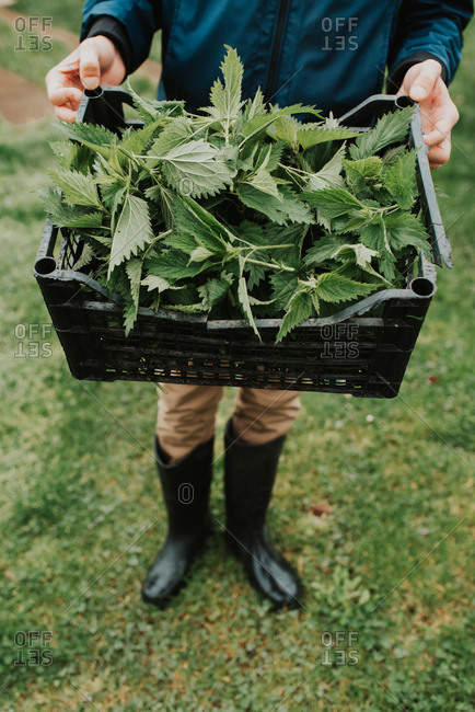 Person wearing rain boots holding basket of fresh picked leafy greens