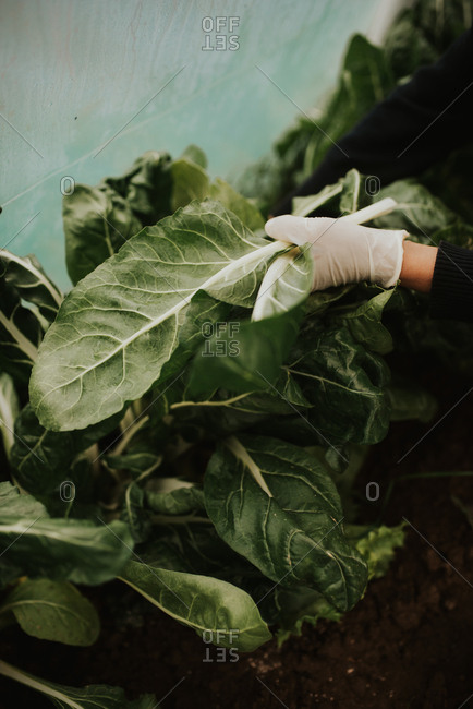 Person in a greenhouse harvesting green leafy vegetables