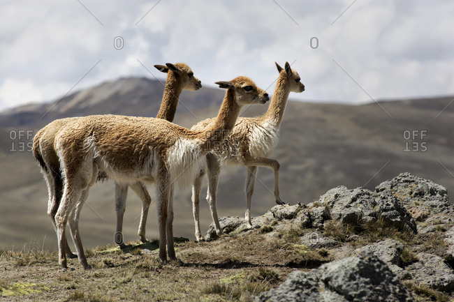 Three young alpacas in the Andes Mountains
