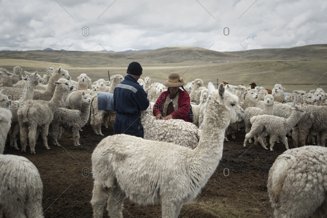 Peru - November 8, 2018: Farmers taking care of their alpacas at Peruvian highlands