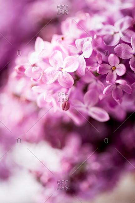 Purple lilacs close up