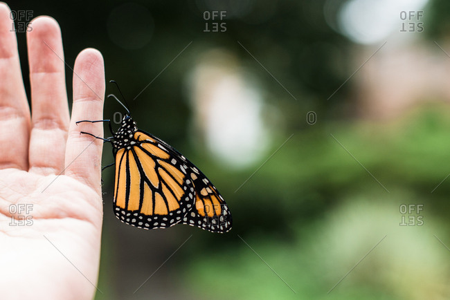 Close up side shot of Monarch butterfly resting on a hand