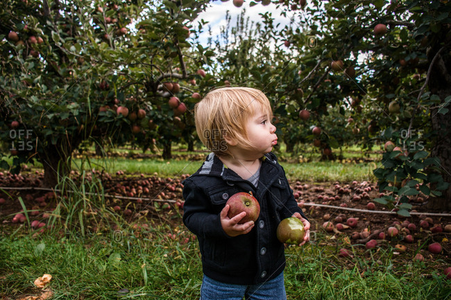 toddler in orchard holding two apples with bites from each