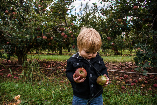 toddler boy in orchard holding and looking at two apples with bites