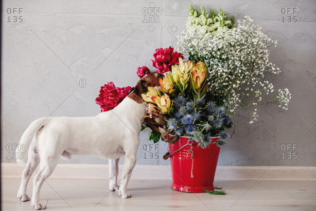 Young jack russell terrier dog near bucket with flowers.