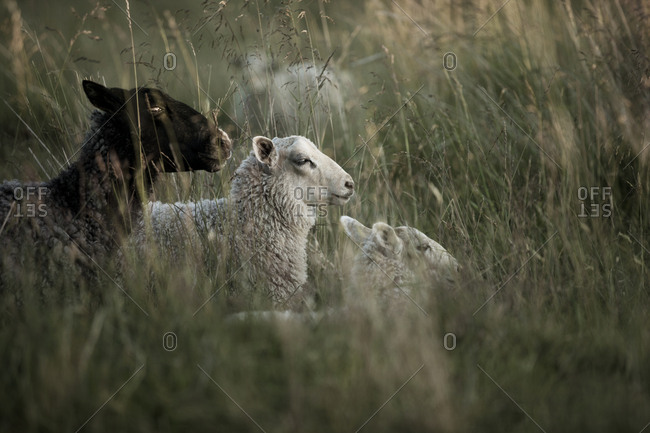 Three sheep lying in meadow