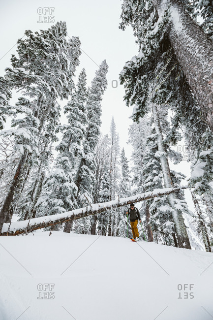 Backcountry skier man makes his way through snowy pine trees