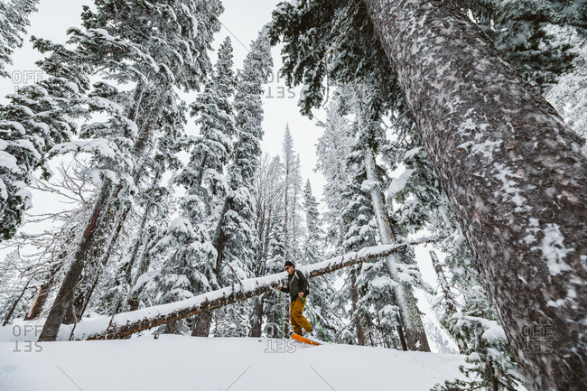 Single skier skies through tall snowy pines in Wyoming backcountry