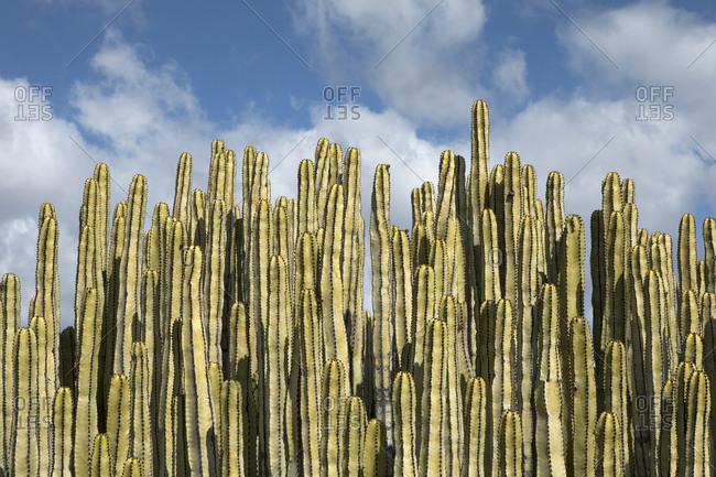 Spain- Tenerife- Malpais de Guimar- cacti