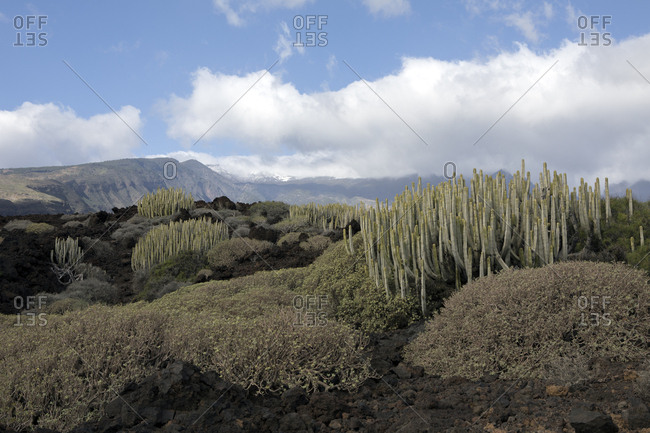Spain- Tenerife- Malpais de Guimar- cacti growing in volcanic landscape