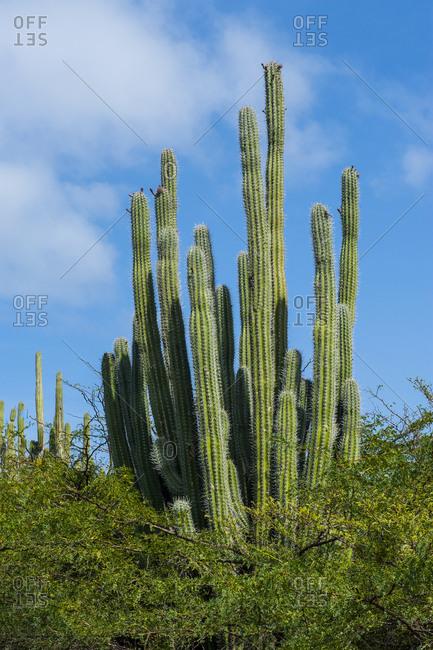 Caribbean- Aruba- Cactus