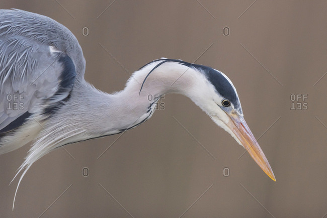 Portrait of a beautiful grey heron