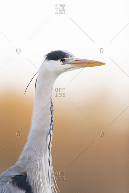Profile portrait of a beautiful grey heron