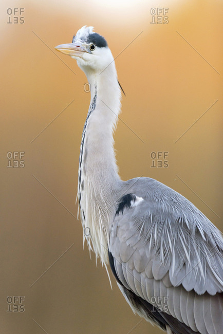 Close up of a grey heron