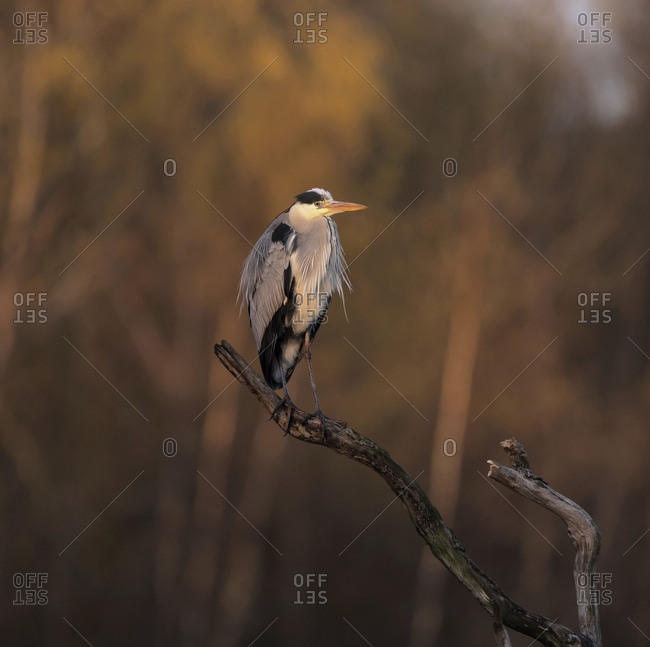 Grey heron perched on a branch