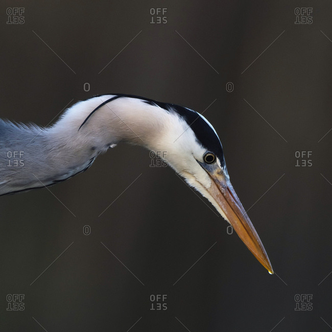 Close up profile of a grey heron