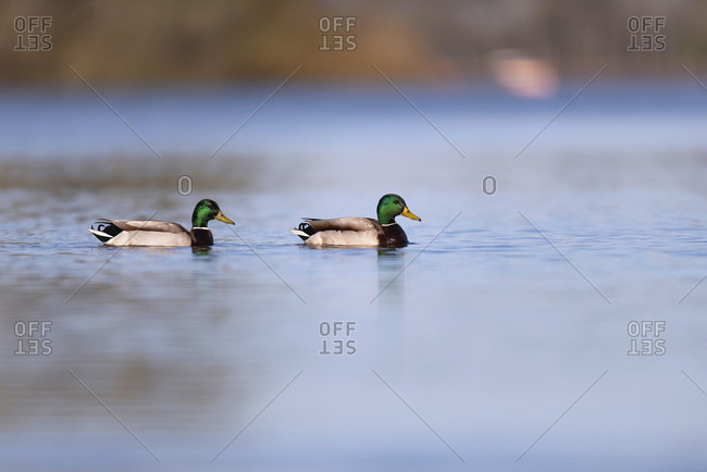 Two mallard ducks in a lake