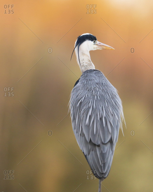 Rear view portrait of a beautiful grey heron