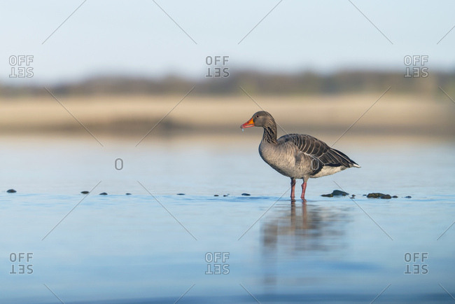 Greylag goose wading in a lake