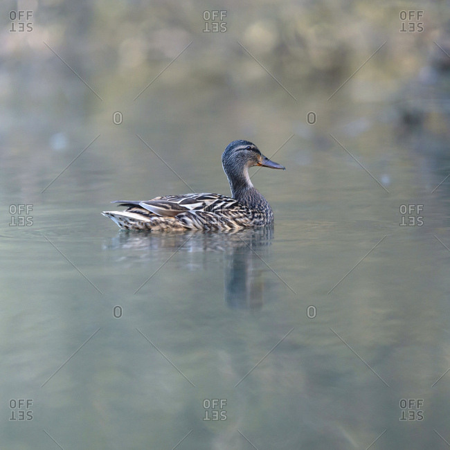 Mottled duck in a lake