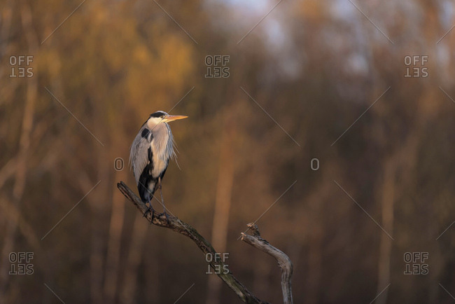 Grey heron perched on a tree branch