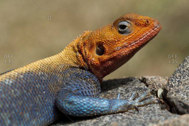 Close up of a red-headed rock agama