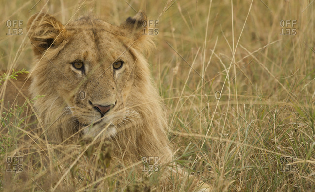 Male lion resting in the grass in Kenya