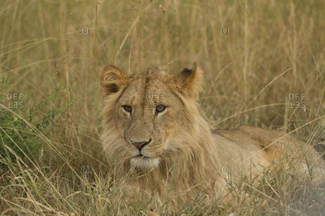 Male lion resting on ground in Kenya