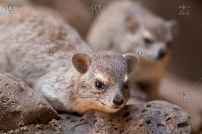 Close up of rock hyrax