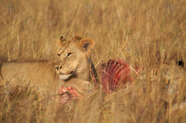Male lion eating a kill in Kenya