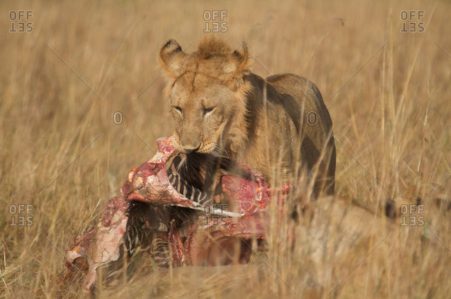 Young male lion eating a kill in Kenya