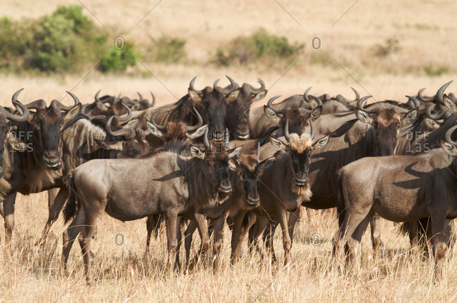 Black wildebeest herd
